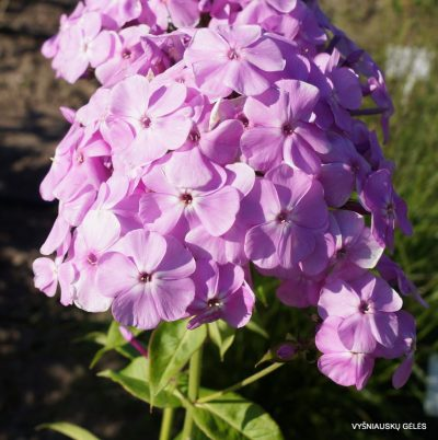 Phlox 'Hortensia'