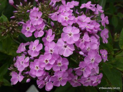 Phlox 'Hortensia' (2)