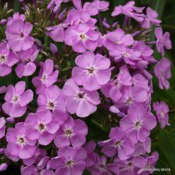 Phlox 'Hortensia' (4)