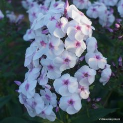 Phlox 'Ice Cream'
