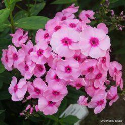 Phlox 'Jeff's Pink'