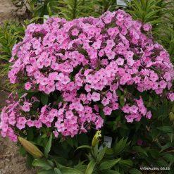 Phlox 'Junior Bouquet'