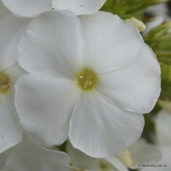 Phlox 'Kreidefelsen' (3)