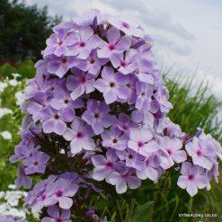 Phlox 'Lavender Light'