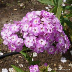 Phlox 'Lilac Flame'