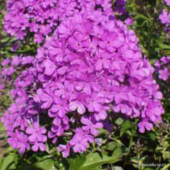 Phlox 'Luc's Lilac' (2)
