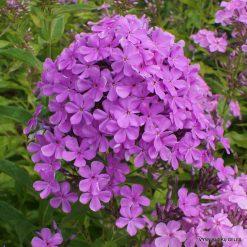 Phlox 'Luc's Lilac' (3)