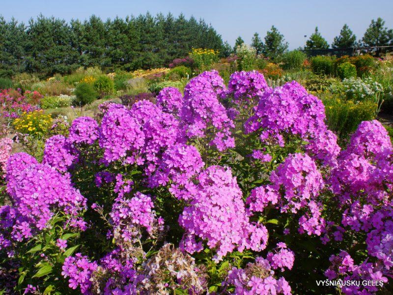 Phlox 'Luc's Lilac' (4)