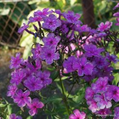 Phlox 'Magic Blue' (10)