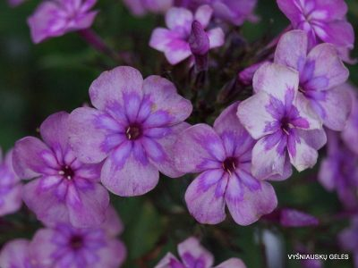 Phlox 'Magic Blue' (2)