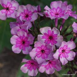Phlox 'Magic Blue'