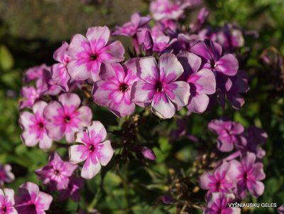 Phlox 'Magic Blue' (3)