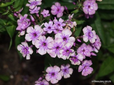 Phlox 'Magic Blue' (4)