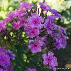 Phlox 'Magic Blue' (9)