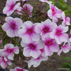 Phlox 'Michurinets'