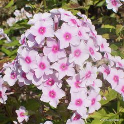 Phlox 'Miss Holland'