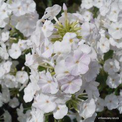 Phlox 'Miss Lingard' (4)