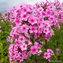 Phlox 'Miss Pepper'