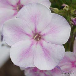 Phlox 'Papagena' (4)