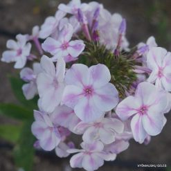 Phlox 'Papagena' (6)