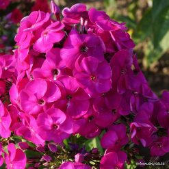 Phlox 'Peacock Neon Purple'