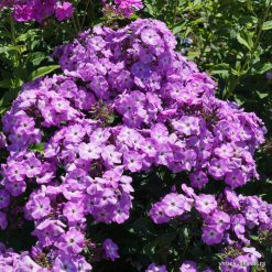 Phlox 'Peacock Purple Bicolor'