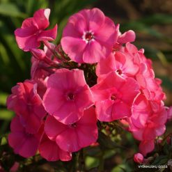 Phlox 'Pink Attraction'
