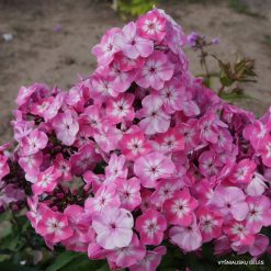 Phlox 'Pink Eye Flame'