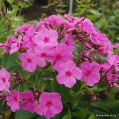 Phlox 'Pink Flame'