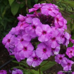 Phlox 'Purple Elite'