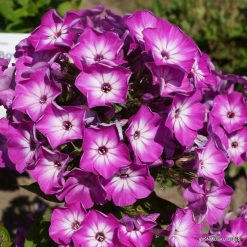 Phlox 'Purple Eye Flame'