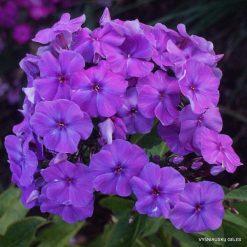 Phlox 'Purple Flame'