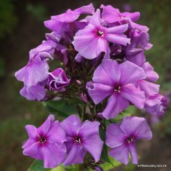 Phlox 'Purple Flame'