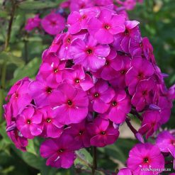 Phlox 'Purpurmantel'