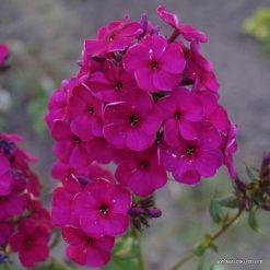 Phlox 'Raving Beauty'