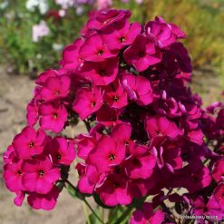 Phlox 'Raving Beauty'