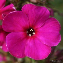 Phlox 'Raving Beauty' (3)