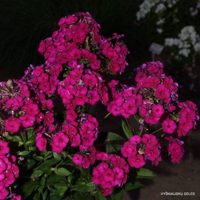 Phlox 'Raving Beauty' (4)