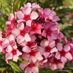 Phlox 'Red Carribean'