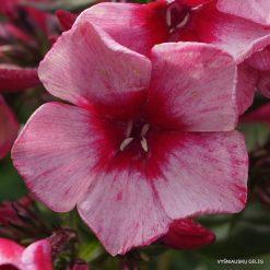 Phlox 'Red Carribean' (3)