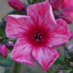 Phlox 'Red Carribean' (4)