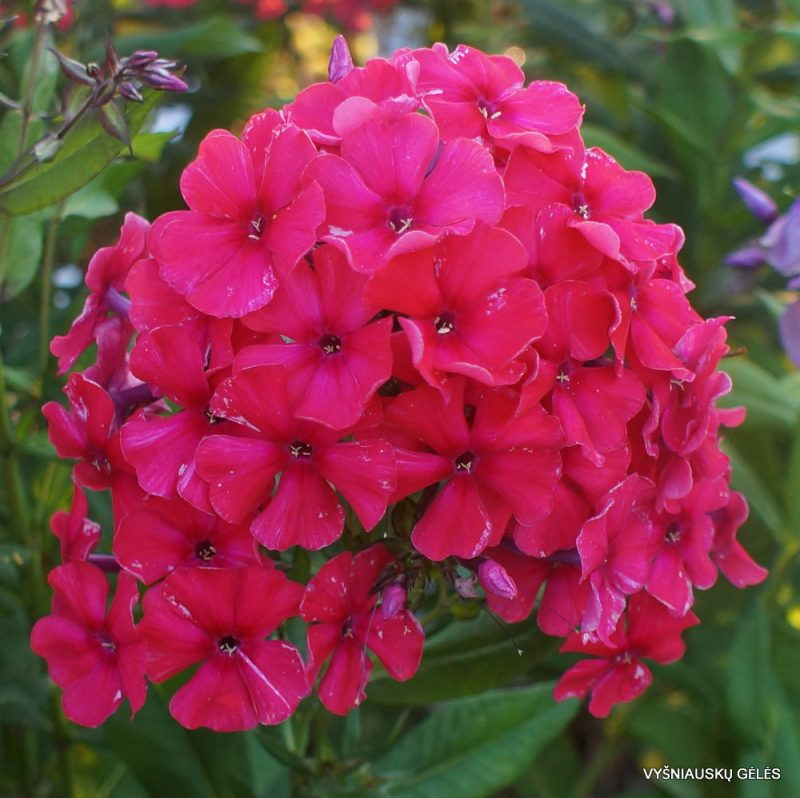 Phlox 'Red Flame' (2)