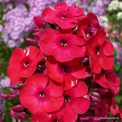 Phlox 'Red Flame'