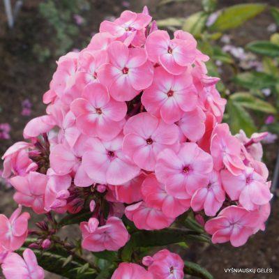 Phlox 'Roselin' (2)