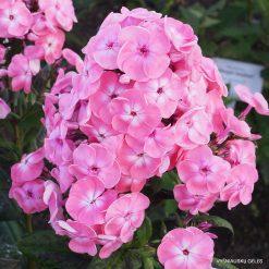Phlox 'Roselin' (3)