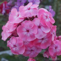 Phlox 'Roselin' (5)