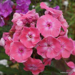 Phlox 'Roselin' (6)