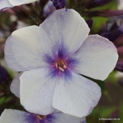 Phlox 'Severnaya Palmira' (5)