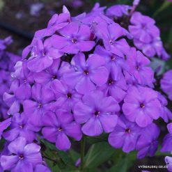 Phlox 'Sinee More'