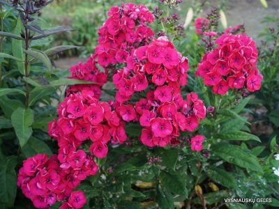 Phlox 'Strawberry Daiquiri' (2)